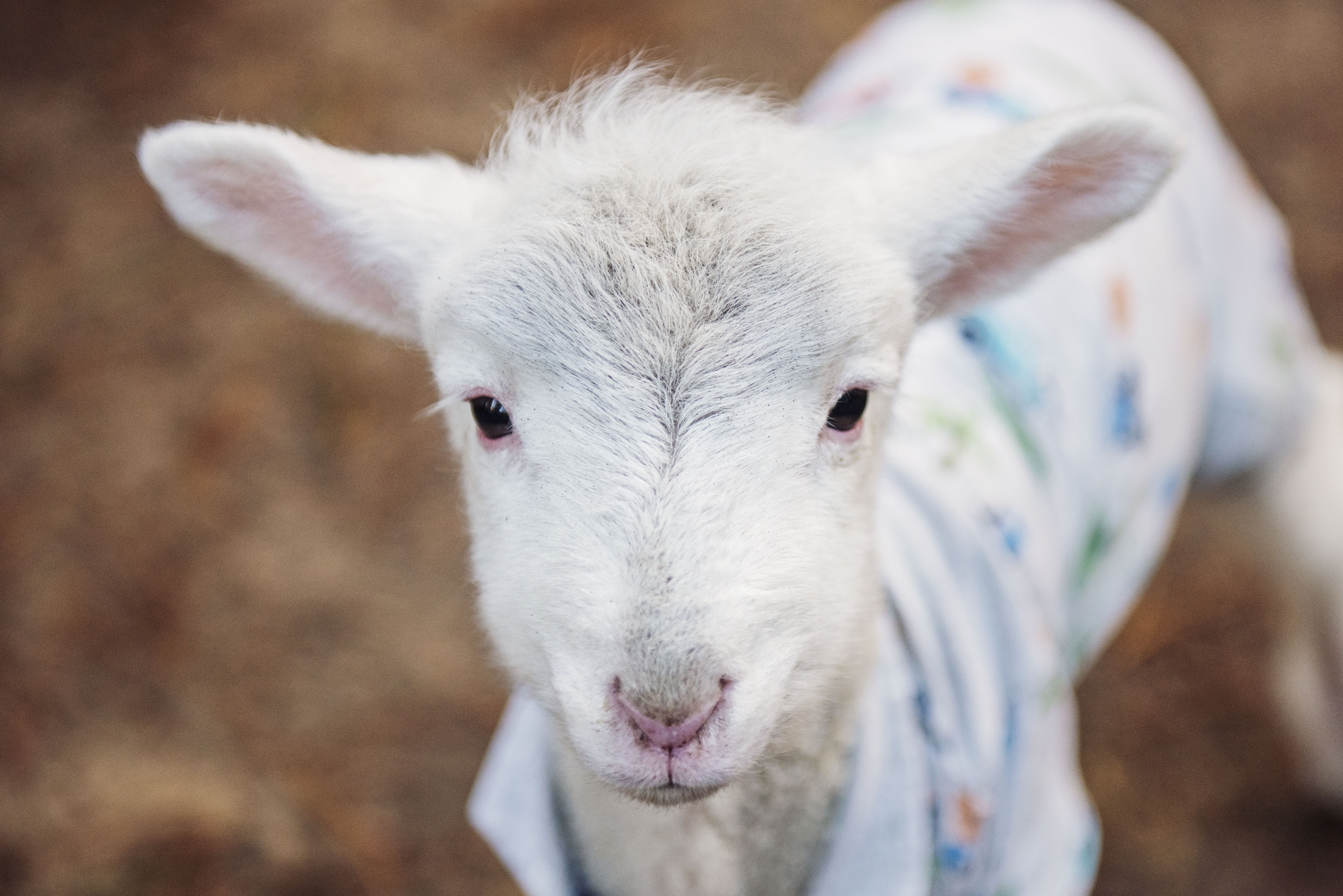 Beautiful lamb from Let's Go Vegan website.